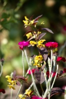 lysimachia ciliata Firecracker against red campion