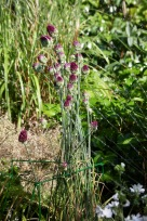 Spray on alliums