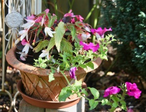 Begonias and petunias