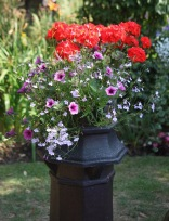 Geraniums, petunias, lobelias in chimney pot