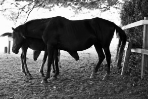 Pony and foals