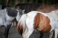 Ponies flanks