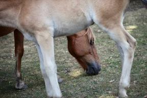 Pony, flies, foals legs