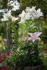 Lilies in Rose Garden