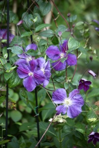 Clematis in Margery's Bed