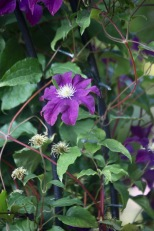 Clematis on Gothic Arch