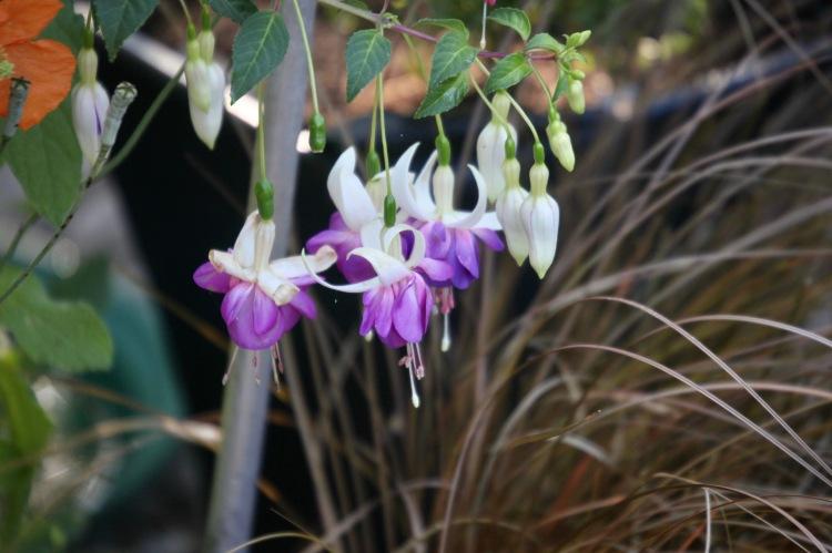 Fuchsia Delta's Sarah