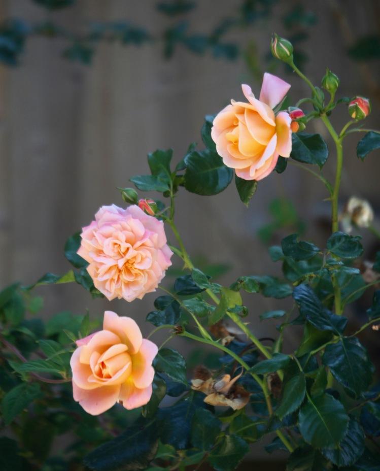 Rose Dearest