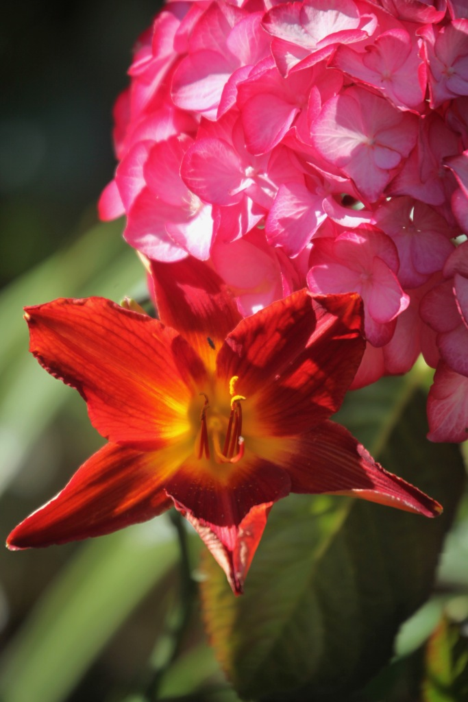 Day lily and hydrangea