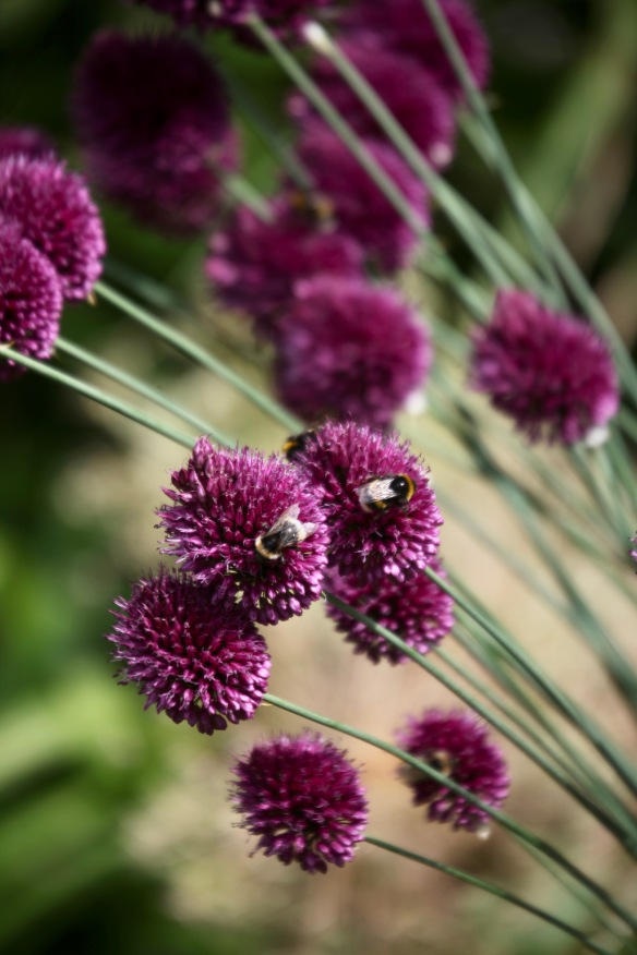 Bees on alliums