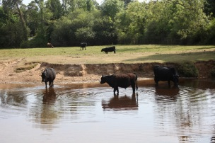 Cattle in Highland Water