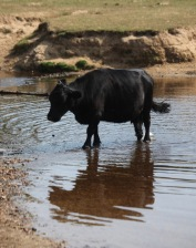 Cow in Highland Water