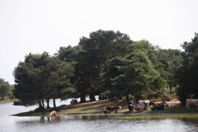 Cattle at Hatchet Pond