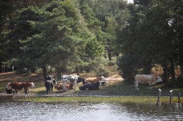 Cattle at Hatchet Pond