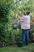 Jackie positionng verbena bonarensis, petunias and lobelias in hanging basket
