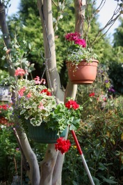 Hanging basket on eucalyptus