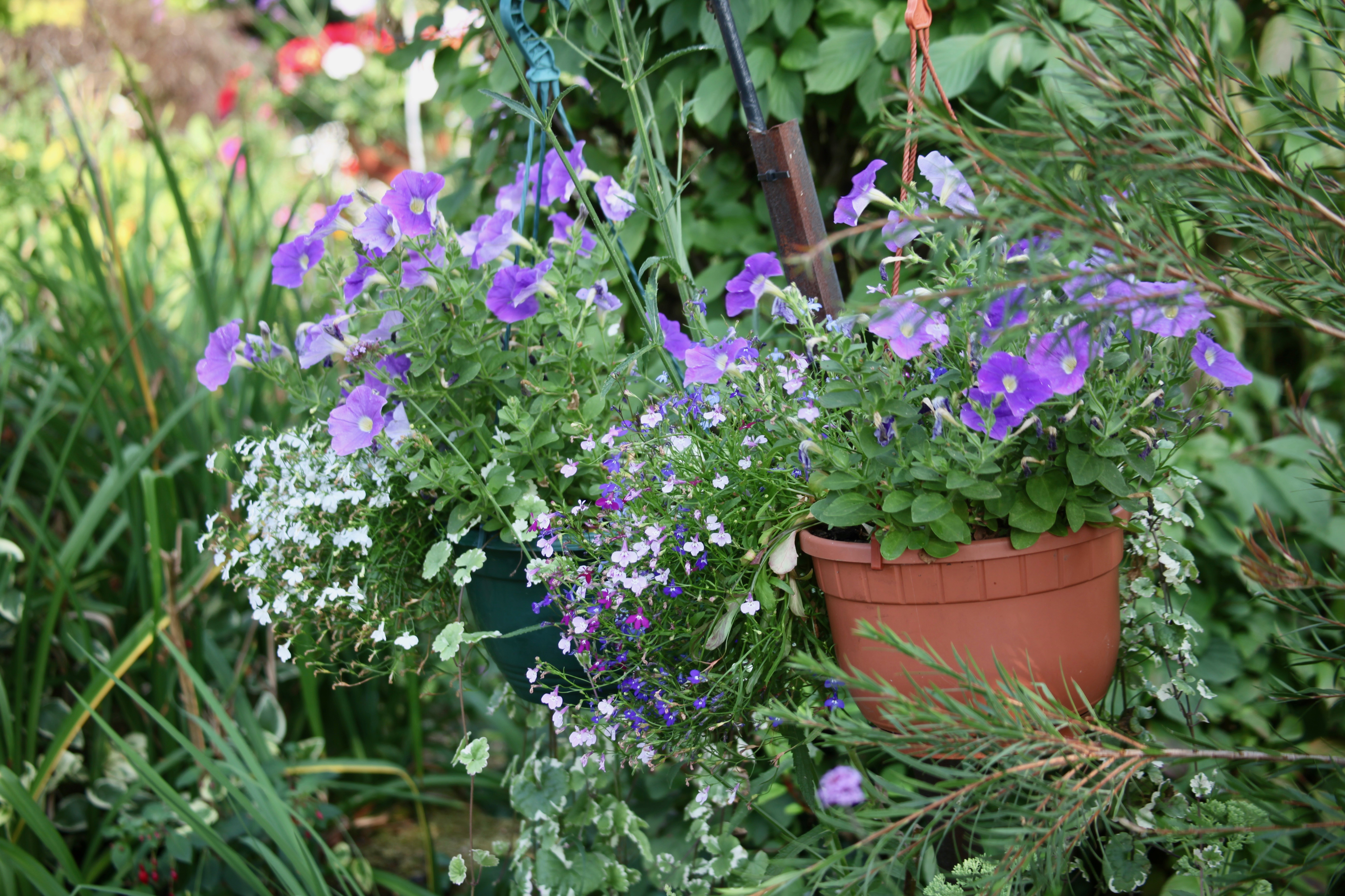 Petunias and lobelias
