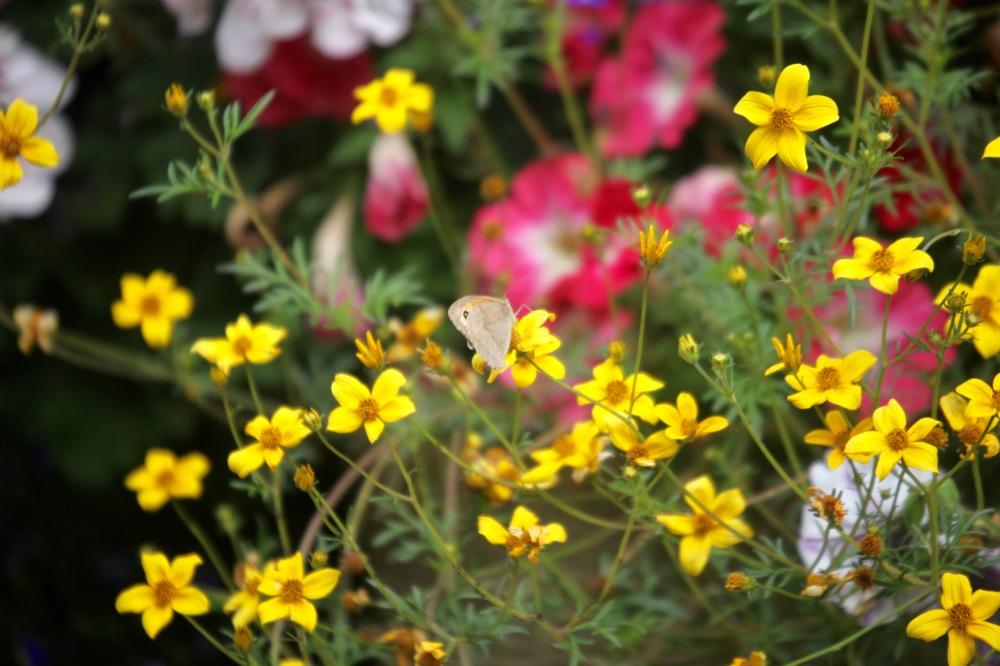 Meadow Brown butterfly on bidens