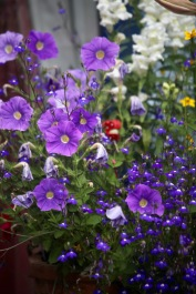 Petunias and lobelias