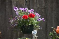 Petunias, geraniums, lobelias. Lady Emma Hamilton