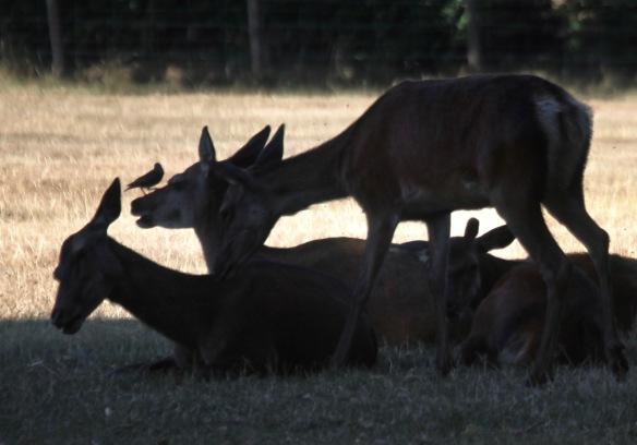 Deer and bird crop