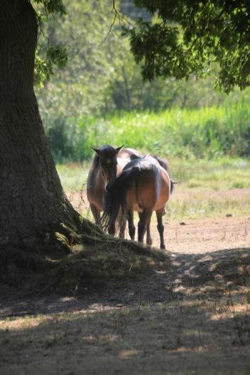 Ponies under tree