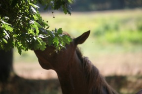 Pony eating oak leaves