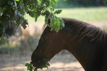 Pony eating oak leaves