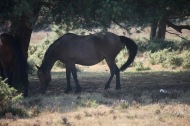 Pony in shade
