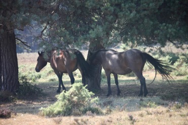 Ponies in shade