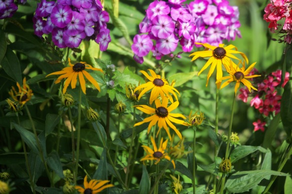 Rudbeckia and phlox