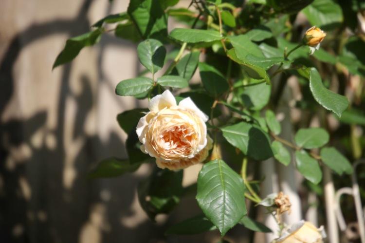 Crown Princess Margareta rose