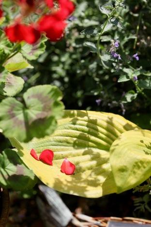 Geranium petals on hosta
