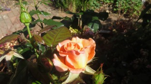 Rose Festive Jewel