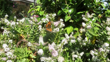Red Admiral on hebe