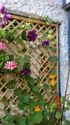 Clematis, geraniums, nastutiums