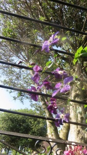 Clematis above Westbrook Arbour