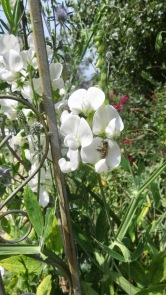 Bee on sweet pea