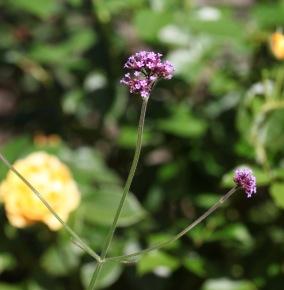 Verbena bonarensis
