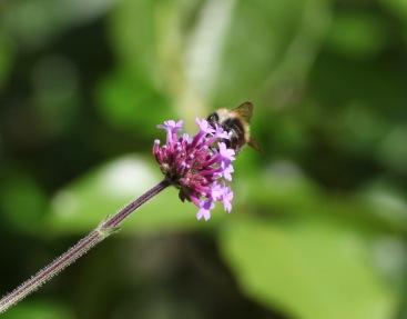 Verbena bonarensis and bee