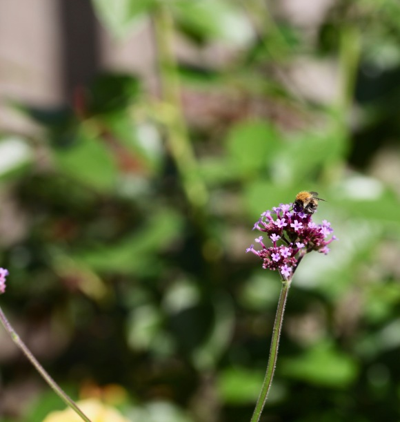 Bee on verbena bonarensis