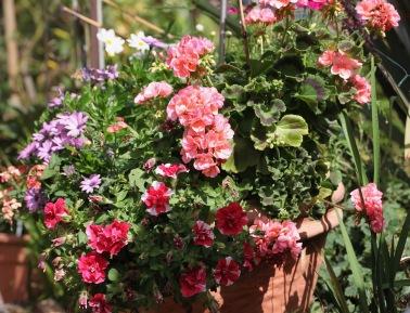 Petunias, geraniums, osteospermums, cosmos