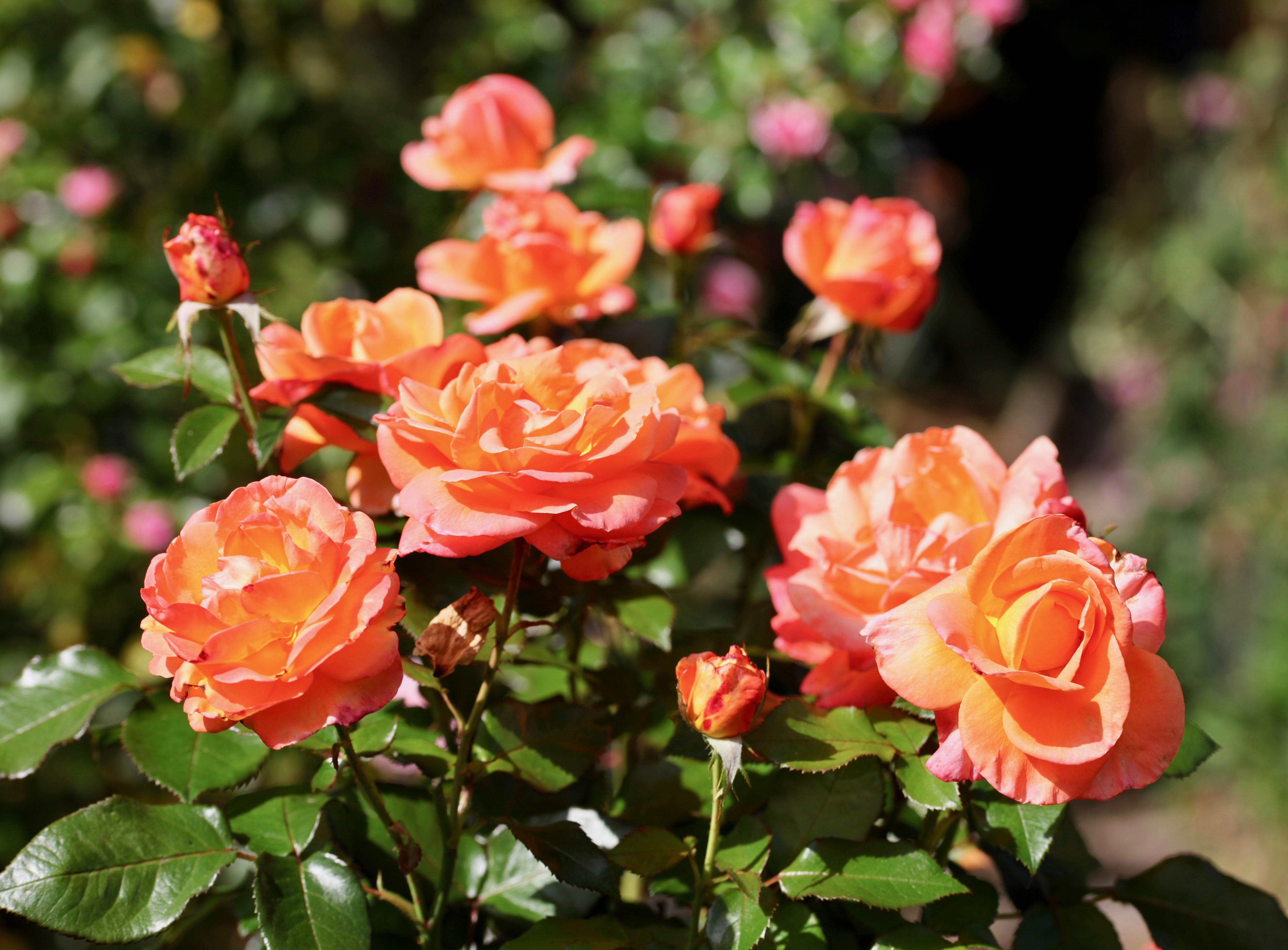 Mama Mia rose