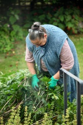 Jackie pruning wisteria