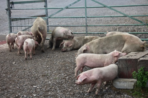 Sows and piglets