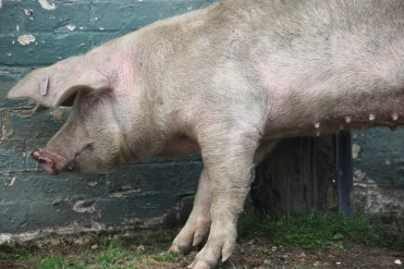 Sow scratching