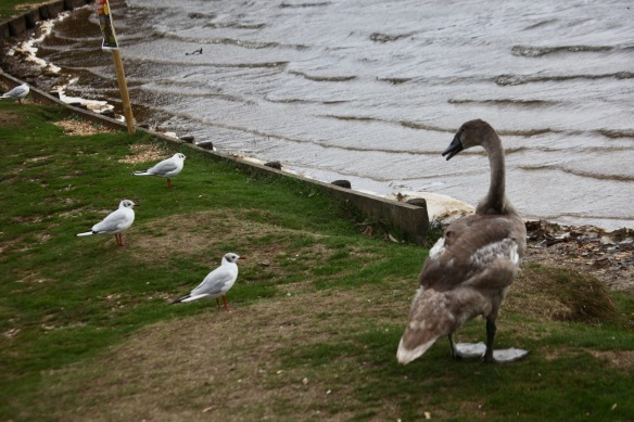 Cygnet and gulls