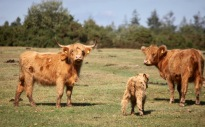 Cattle and calf