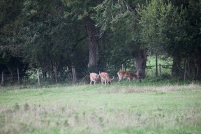 Three young stags