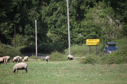 Sheep and Watch Out sign